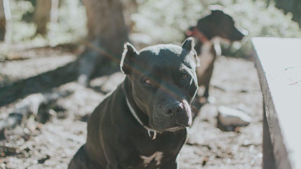 #Video Sujetos usan perros de la calle para pelear con pitbulls - Foto de Sandra Seitamaa @seitamaaphotography