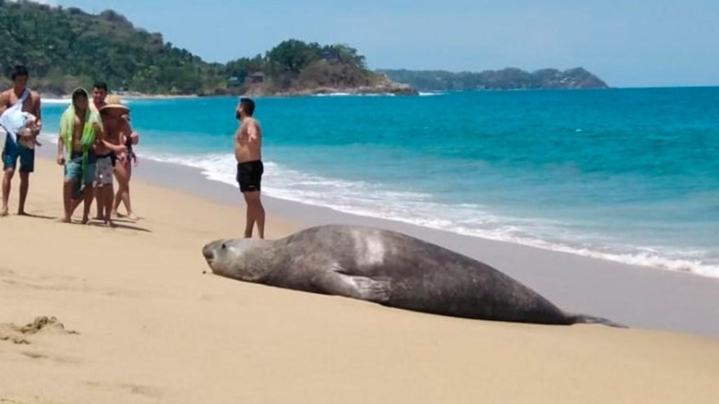 Elefante marino descansa en playa de San Pancho, Nayarit - elefenate marino nayarit
