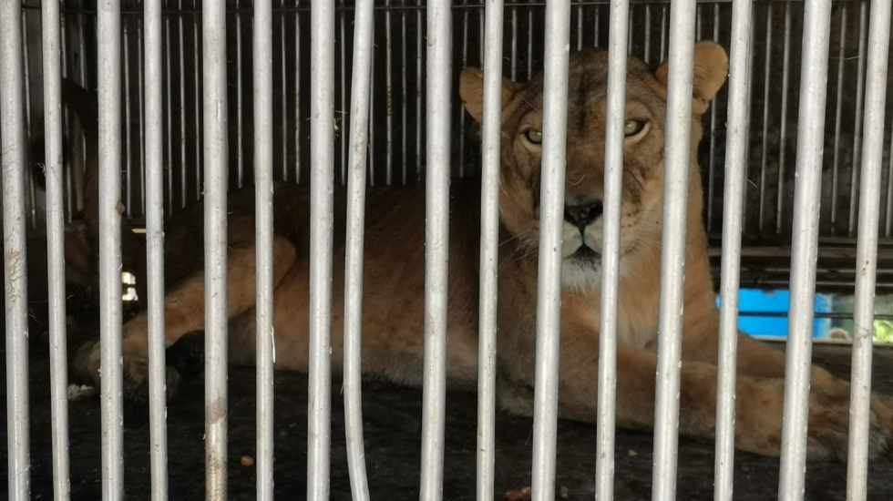 Hallan leona maltratada en taller mecánico en Ecatepec - Leona Ecatepec Chiconautla edomex