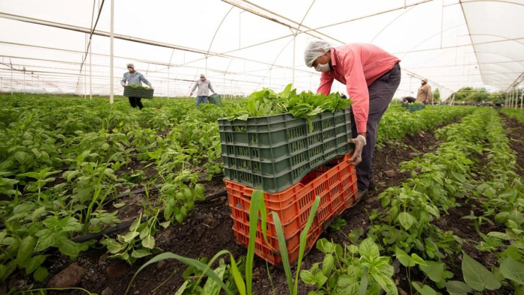Campo mexicano busca reducir dependencia de EE.UU. pese a T-MEC - Producción orgánica en el campo mexicano. Foto de Sader