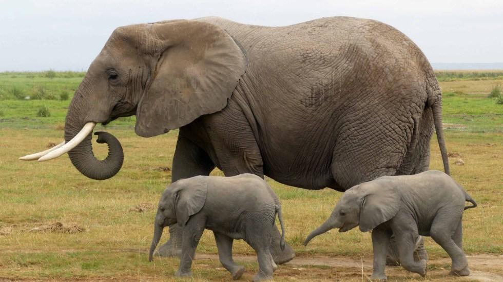 Experimenta Kenia un 'baby boom' de elefantes; nacen 140 crías - Elefanta 'Pazia' con sus gemelos en el Parque Nacional Amboseli. Foto de @AmboseliElephants
