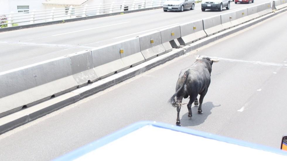 #Video Toro muere atropellado en Querétaro tras huir de su corral - Toro Querétaro escape carriles centrales