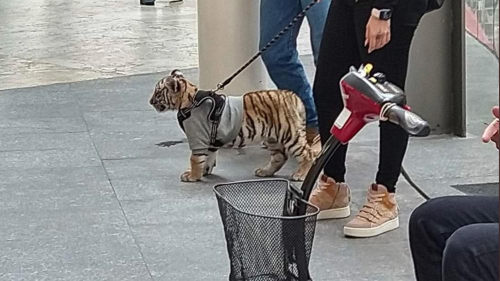 Mujer pasea a cachorro tigre de bengala en plaza comercial de Polanco - Foto de @ZaiPorras