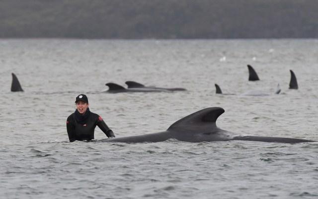 Australia lleva mar adentro cadáveres de ballenas varadas en isla de Tasmania - Australia ballenas varadas