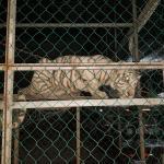 Matamoros Tamaulipas GOPES aseguramiento vehiculos aves tigres 25