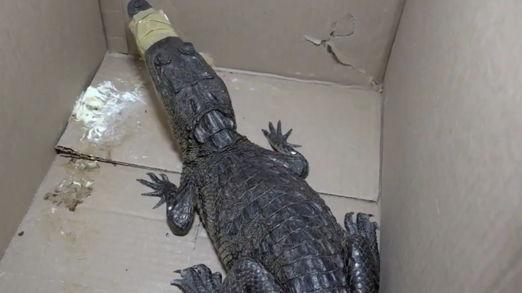 #Video Brigada animal rescata a cocodrilo abandonado en la GAM - Captura de pantalla