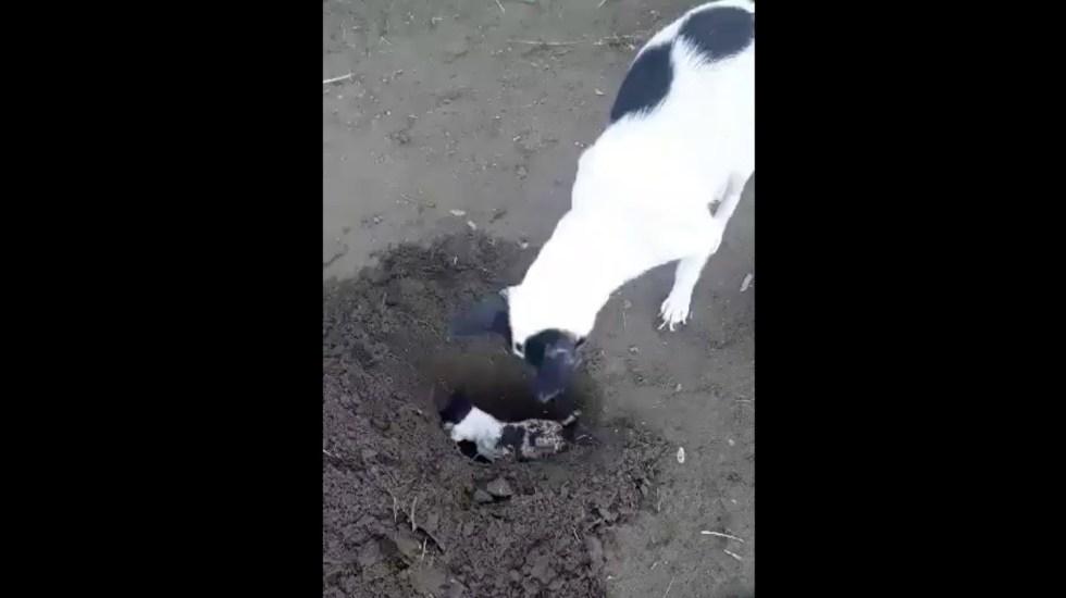 #Video Perra cava tumba para enterrar a su cachorro muerto - Captura de pantalla