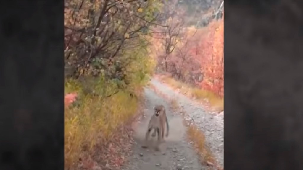#Video Madre puma se rebela contra excursionista por acercarse a sus cachorros - Foto Captura de pantalla
