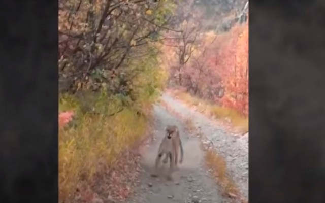 #Video Madre puma se rebela contra excursionista por acercarse a sus cachorros - Foto Captura de pantalla