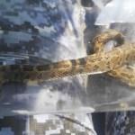 Aumenta avistamiento de víboras en casas de CDMX; SSC emite recomendaciones