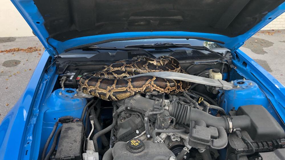 #Video Abre cofre de auto y halla serpiente pitón de tres metros - Foto de EFE