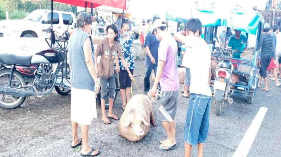 #Video Rapiñan cerdos tras volcadura de tráiler en Campeche pese a derrame de combustible - Foto Twitter @UNoticiasGrupo
