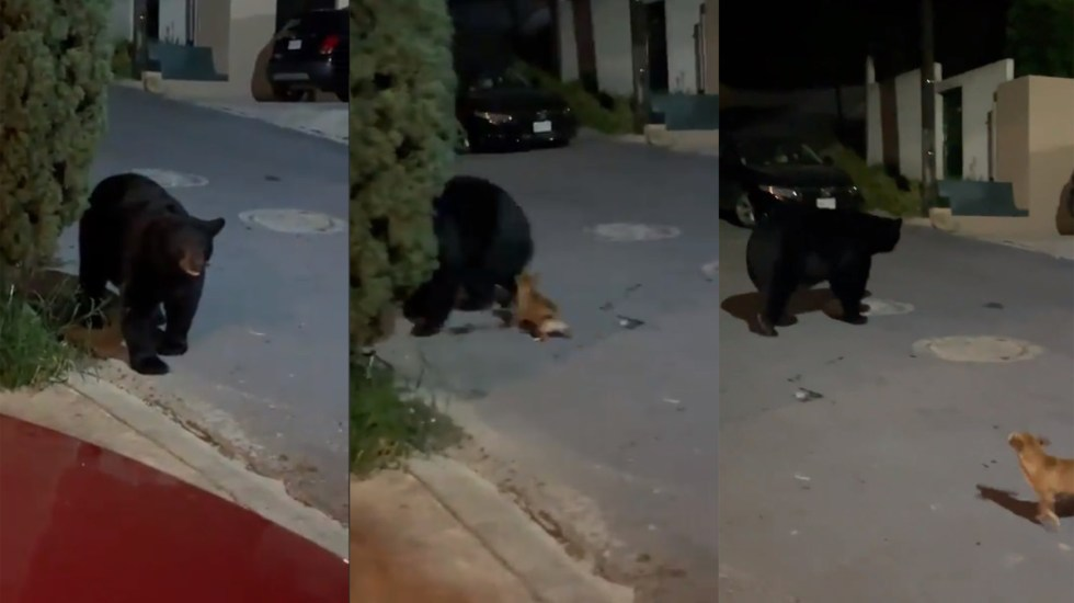 #Video Perro Chihuahua ahuyenta a oso que merodeaba en botes de basura en Monterrey - Perro Chihuahua ahuyenta a oso en Monterrey. Captura de pantalla