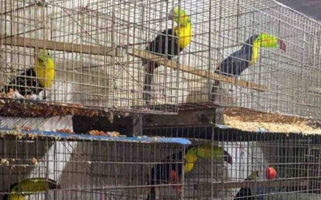 Aseguran 15 mil animales en Iztapalapa durante cateo a dos inmuebles - Tucanes asegurados en Iztapalapa. Foto de Excélsior