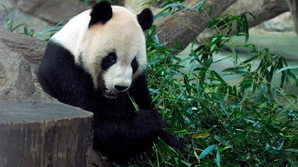 Muere 'Xinxing', la osa panda más vieja del mundo en cautiverio en zoológico de China - Muere 'Xinxing', la osa panda más vieja del mundo en cautiverio en el zoológico de Chongqing. Foto EFE