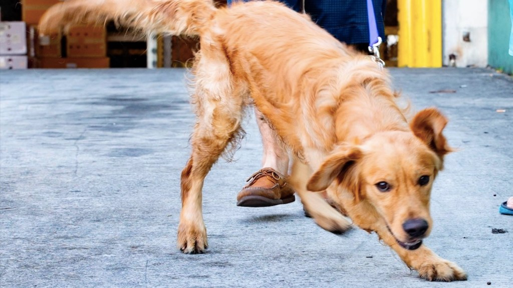 Al menos 20 perros rescatados de carnicerías de China llegan a Florida - Foto de EFE