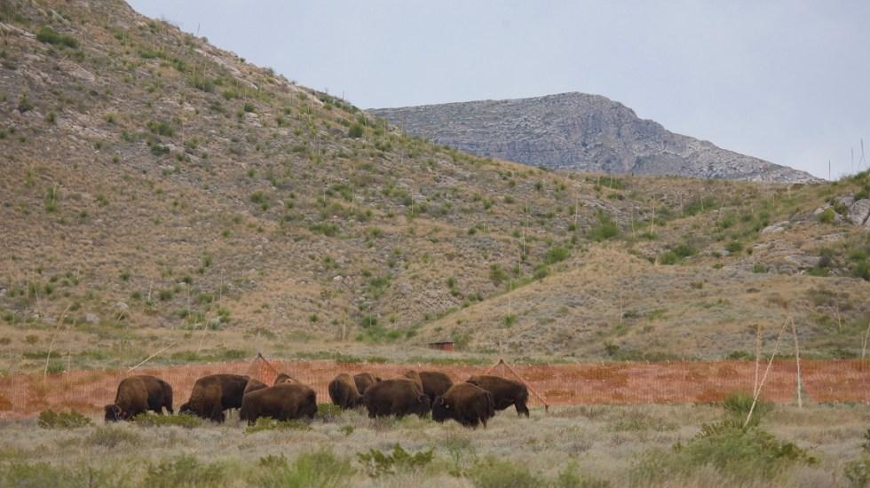 CONANP desmiente presunta cacería de bisontes en Coahuila - Bisontes en Coahuila. Foto de CONANP