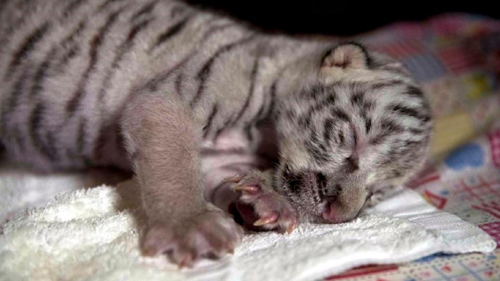"""Murió """"Nieves"""", la tigresa blanca nacida en cautiverio hace 15 días en Nicaragua - Murió"""