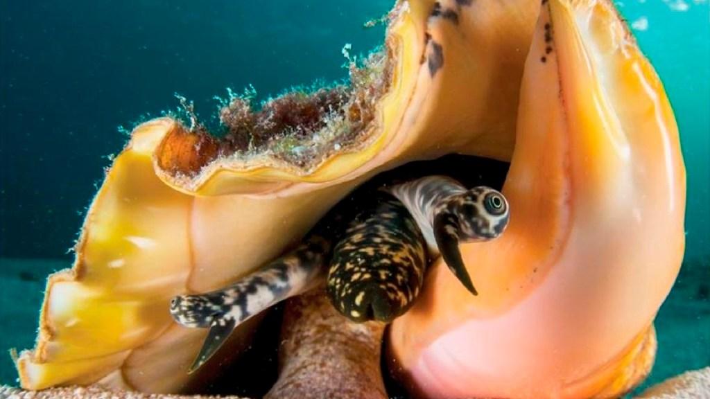 Publican manual para incubar al caracol rosado, especie en peligro de extinción - Publican manual para preservar al caracol rosado, especie en peligro de extinción. Foto EFE