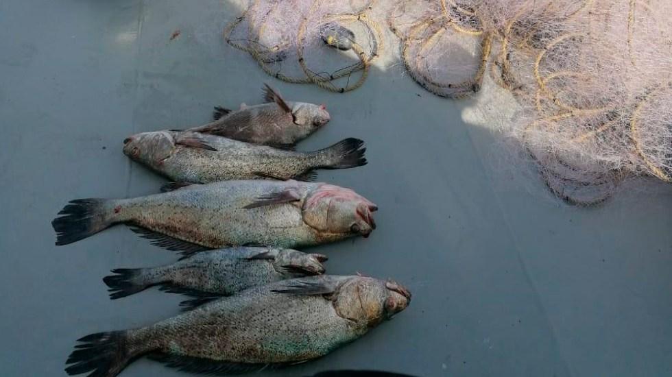 Libera Semar seis ejemplares de totoaba atrapados en redes clandestinas del Mar de Cortés - Semar libera 6 ejemplares de totoaba atrapados en redes clandestinas en Mar de Cortés. Foto Semar