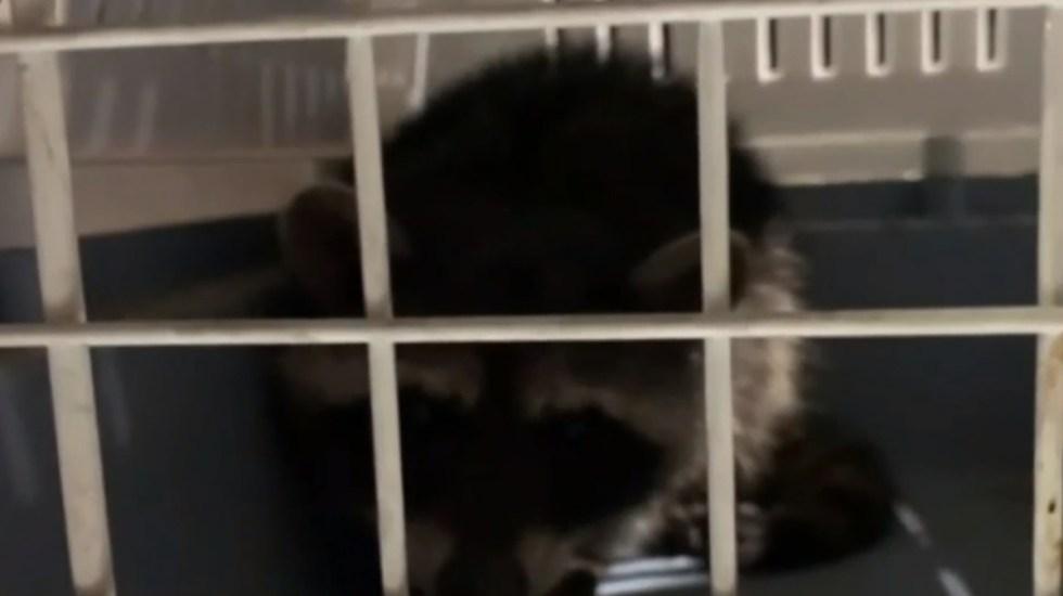 Capturan en CDMX a mapache que merodeaba en las calles - Mapache capturado en la Venustiano Carranza. Captura de pantalla / Foro TV