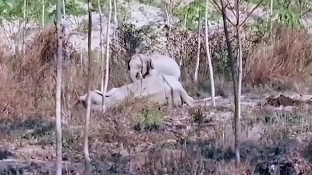 #Video Cría de elefante protege a su madre herida en Tailandia - Elefante bebé protege a su madre herida. Captura de pantalla