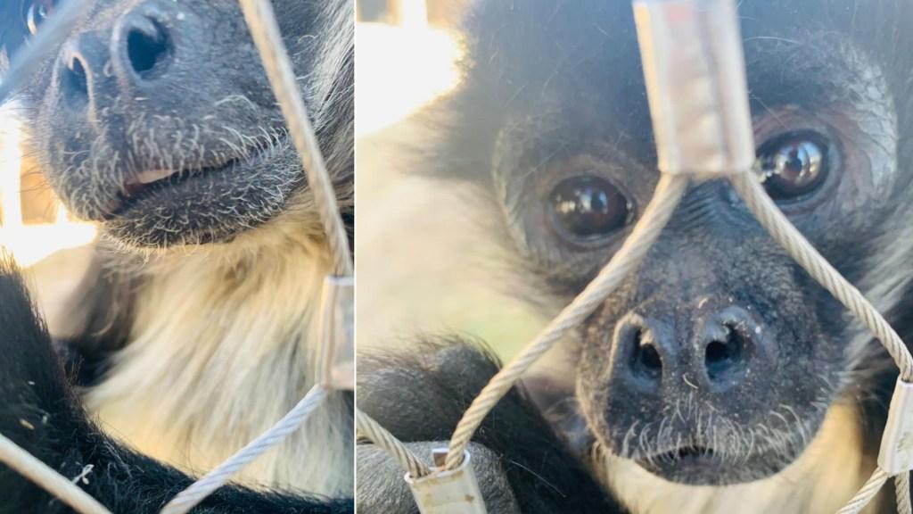 Menor termina detenido en Zapopan por presuntamente agredir a mono araña - Mono ataque Zapopan MenorMono ataque Zapopan Menor