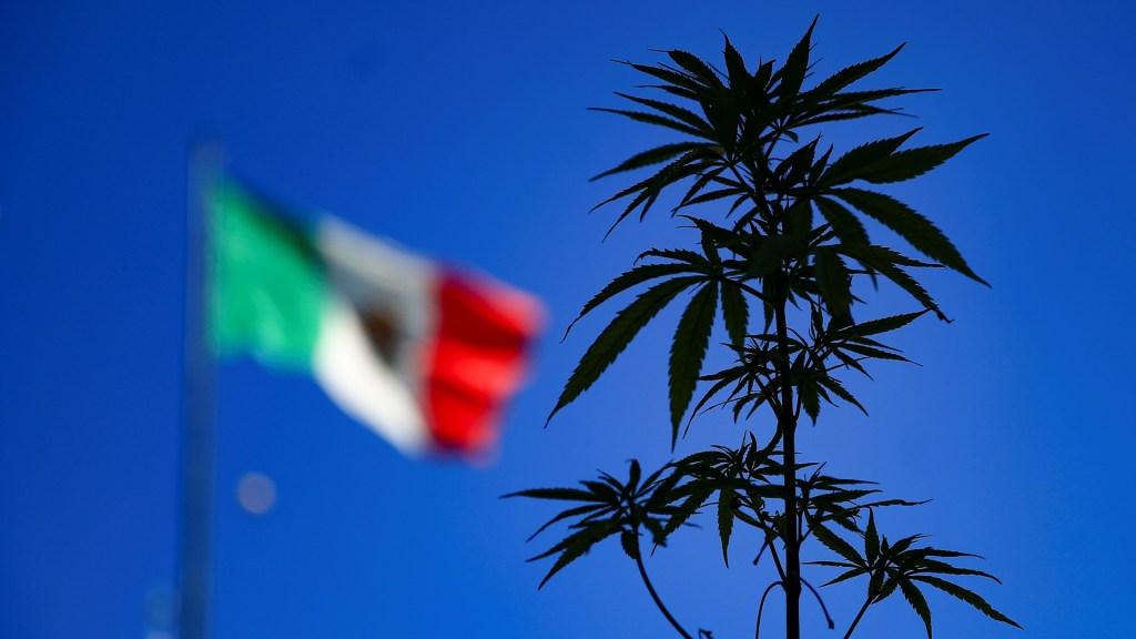 Comisión de Justicia del Senado avala la regulación de la mariguana - Planta de mariguana. Foto de EFE