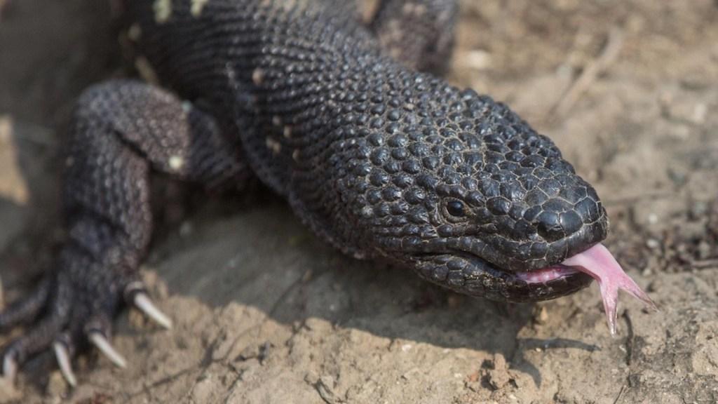Lagarto 'venenoso' se resiste a desaparecer en el bosque de Guatemala - Heloderma, una especie de lagarto 'venenoso' de Guatemala.