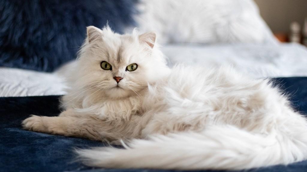Rusia produce primer lote de 17 mil dosis de vacuna contra COVID-19 para animales - Gato. Foto de Jeanie de Klerk / Unsplash