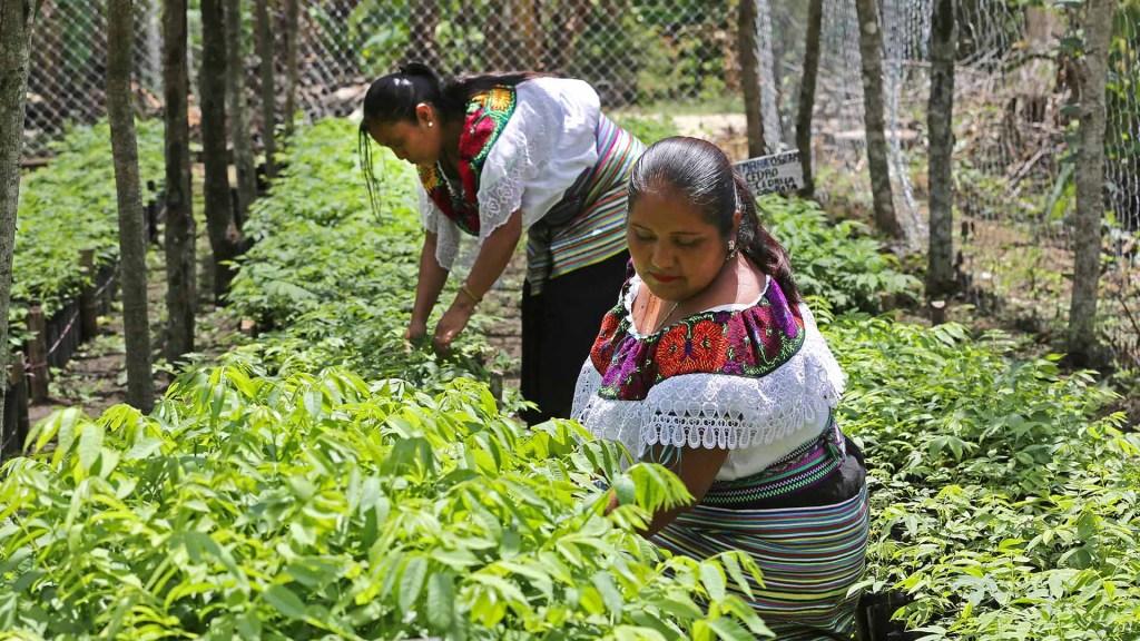 México llega a cumbre climática con propuesta sobre migración y muchos pendientes - Mujeres campesinas partícipes del programa Sembrando Vida. Foto de Secretaría de Bienestar