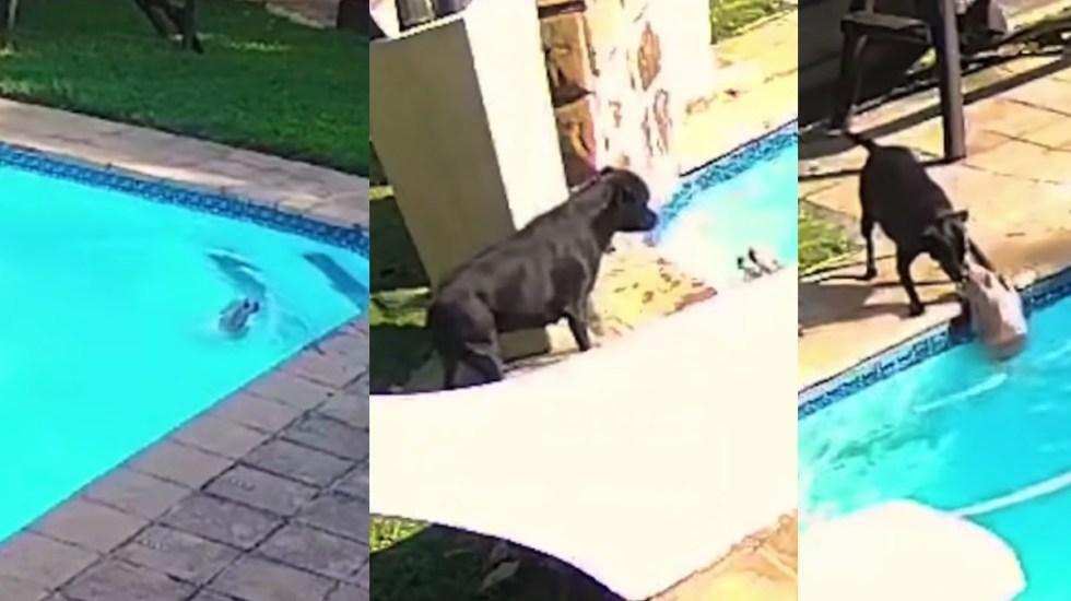 #Video Perro rescata a otro de ahogarse en alberca - Perro rescate Sudáfrica