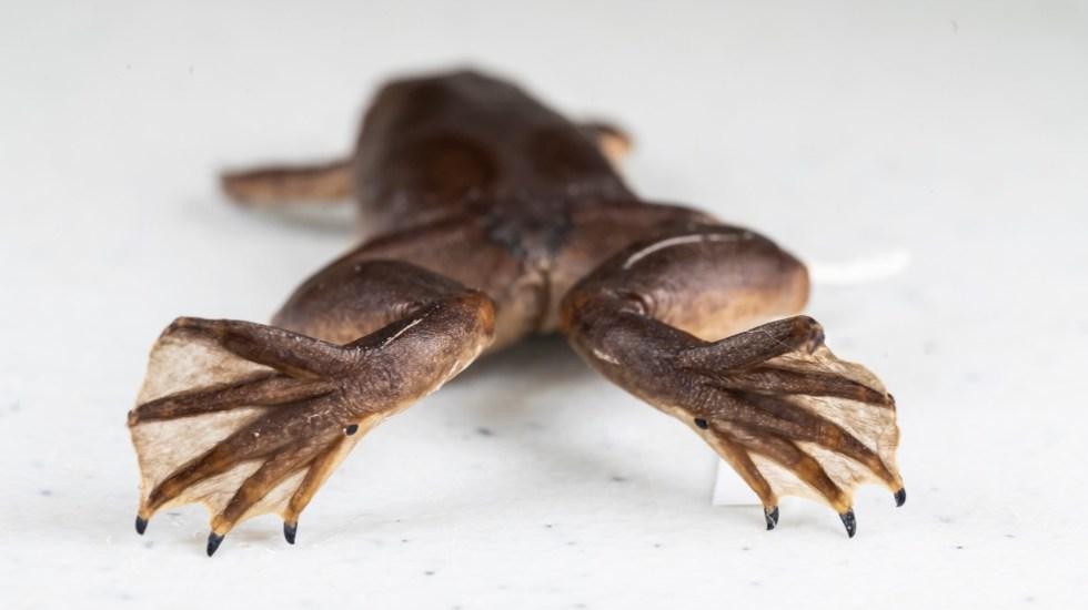 Alertan en Florida por rana africana que pone en riesgo ecosistema - Rana África Florida Estados Unidos 2