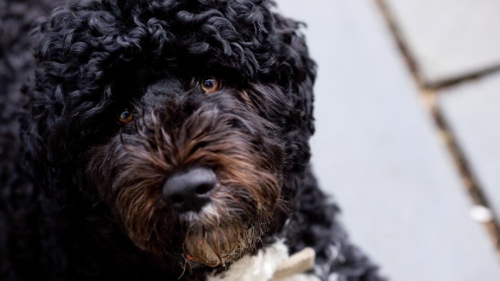 """Murió """"Bo"""", uno de los perros de la familia Obama. Noticias en tiempo real"""