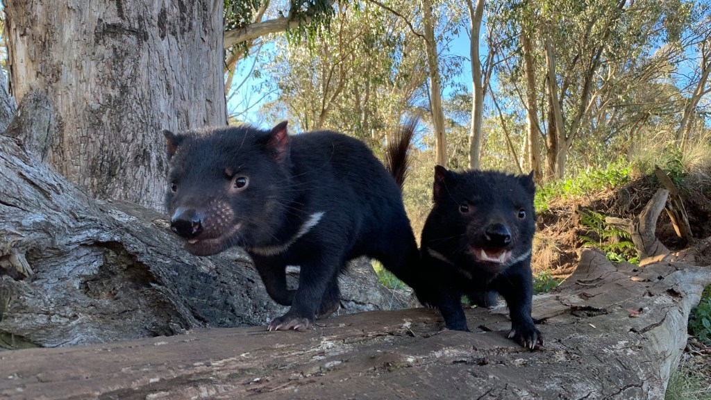 Nacen en Australia demonios de Tasmania por primera vez en 3 mil años - Demonios de Tasmania. Foto de @AussieArk