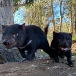 Nacen en Australia demonios de Tasmania por primera vez en 3 mil años