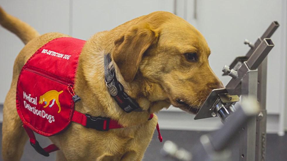 Perros pueden detectar COVID-19 con una precisión de hasta 94 % - Perro detector de COVID-19. Foto de Neil Pollock