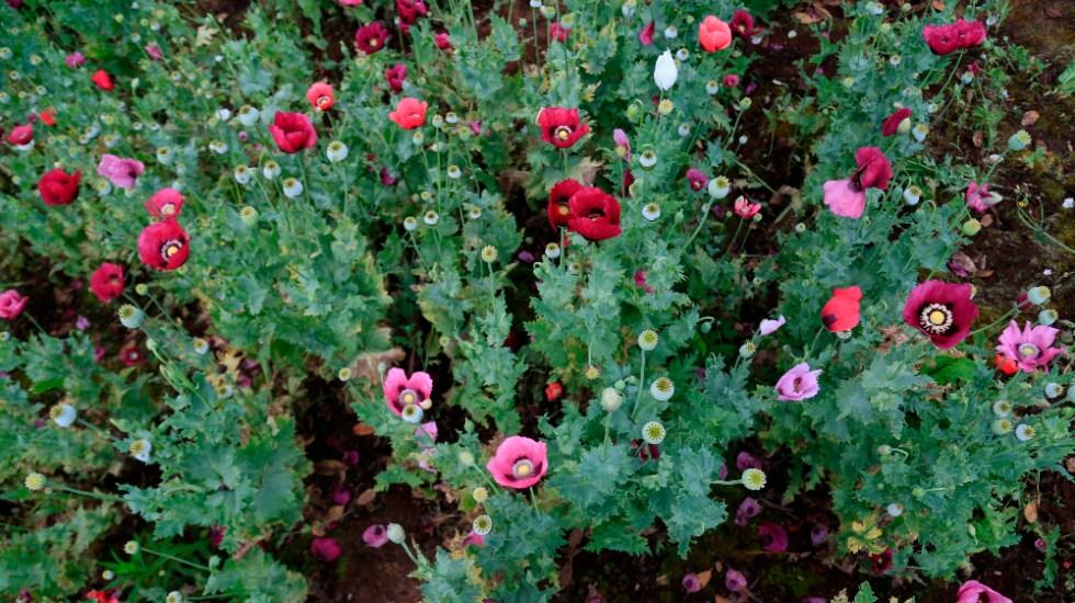 ONU señala que México es el tercer mayor productor global de opio - Amapola México Guerrero