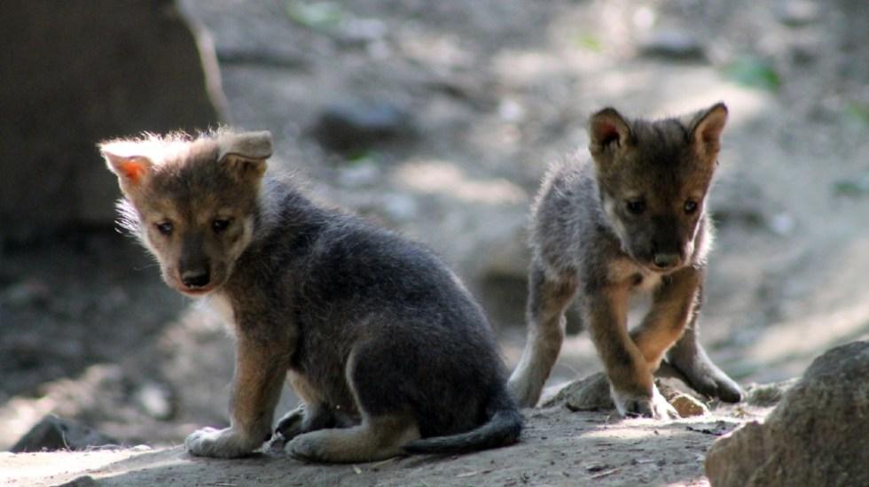 Nace camada de lobos mexicanos en Zoológico de Chapultepec - Camada lobos mexicanos Chapultepec