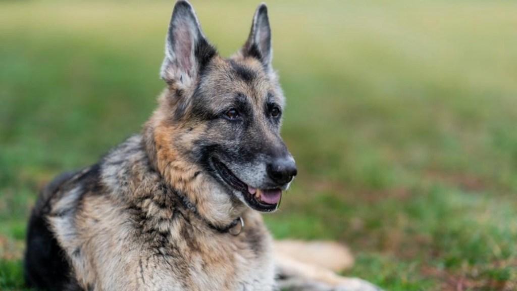Murió Champ, el perro de la familia Biden - Murió Champ, el perro de la familia Biden. Foto de Twitter @POTUS