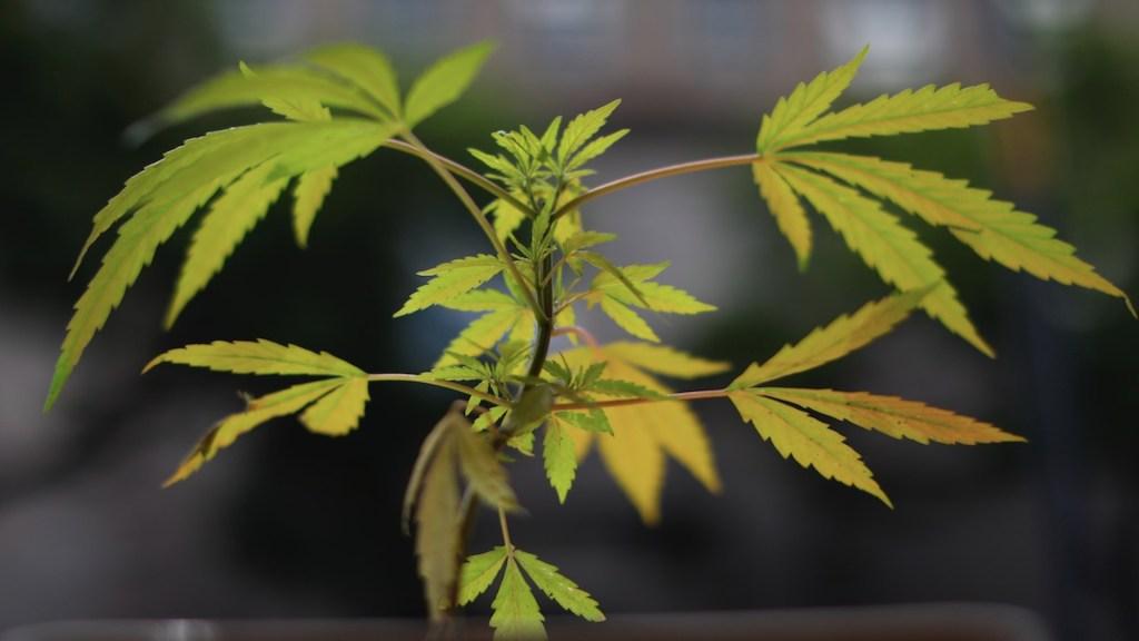 ¿Qué permite y qué prohíbe el fallo de la SCJN sobre la mariguana? - ¿Qué permite y qué prohíbe el fallo de la SCJN sobre la mariguana?. Foto de EFE