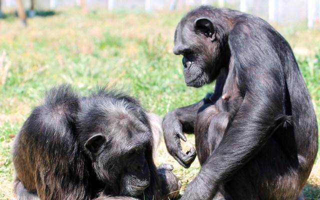 Los chimpancés también pueden sufrir trastornos mentales graves - Los chimpancés Gombe y Sandy en su recinto del centro de rescate de primates Rainfer. Foto de EFE/ Centro De Rescate De Primates Rainfer