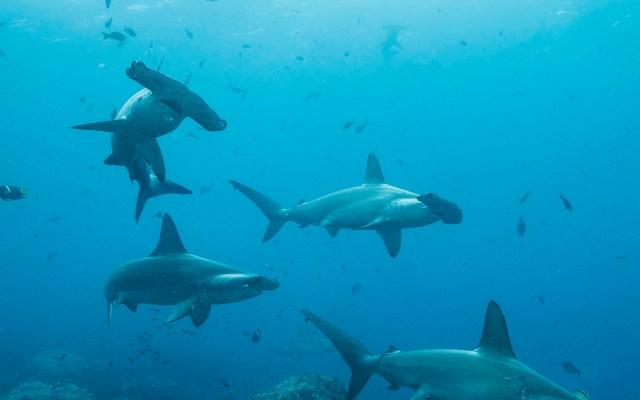 El misterio de Cassiopeia: Tiburón viaja 4 mil kilómetros y no se sabe dónde está - Un velo de misterio cubre a Cassiopeia, una hembra de tiburón martillo común que cumplió un viaje de ida y vuelta de más de 4 mil kilómetros desde el archipiélago ecuatoriano de Galápagos hasta Centroamérica, y cuyo paradero, por ahora, se desconoce. Foto de EFE