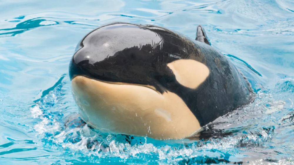 Orca de 6 años murió en parque de San Diego; activistas piden investigación - Amaya orca Seaworld San Diego