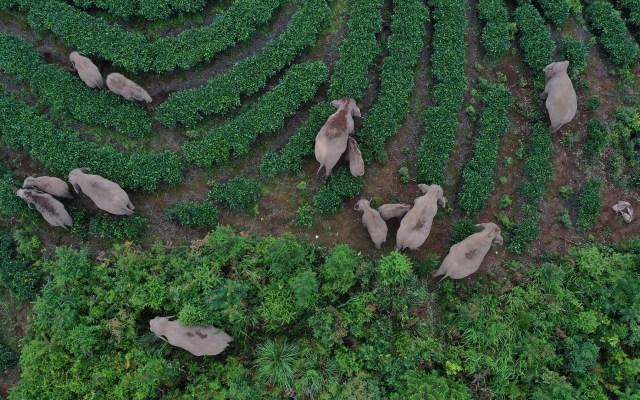 Concluye migración de elefantes en China; llegan a hábitat apropiado - Migración de elefantes en China