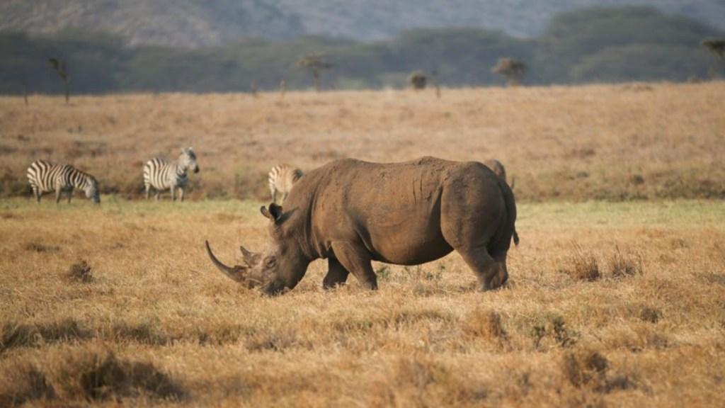Kenia, mi amigo masai y su cuenta en Instagram, por Ivonne Frid - rinoceronte en kenia