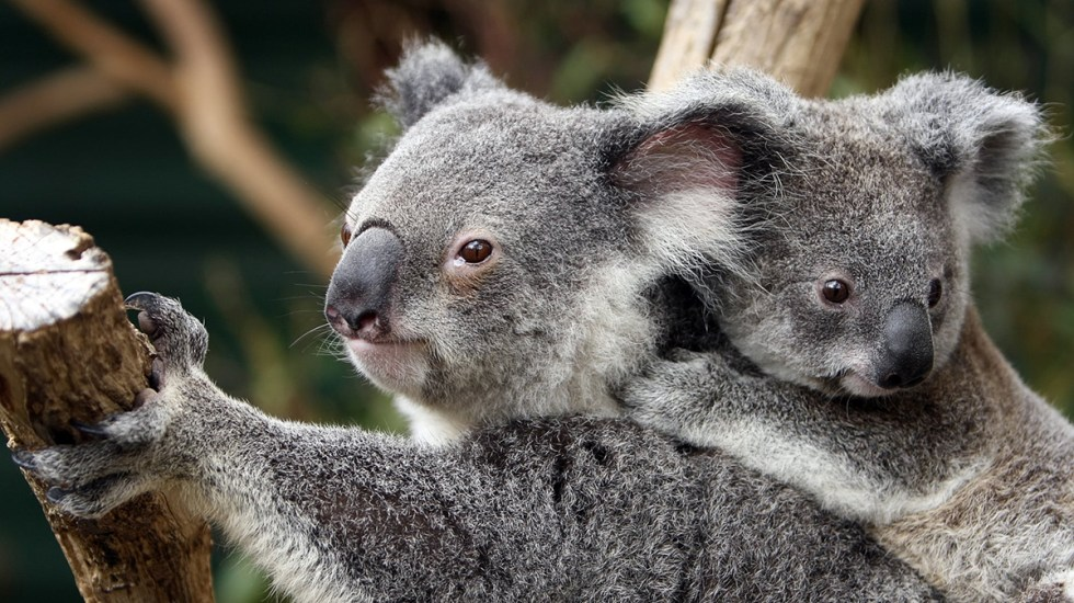 Población de koalas en Australia se redujo 30 por ciento desde 2018 - Koalas