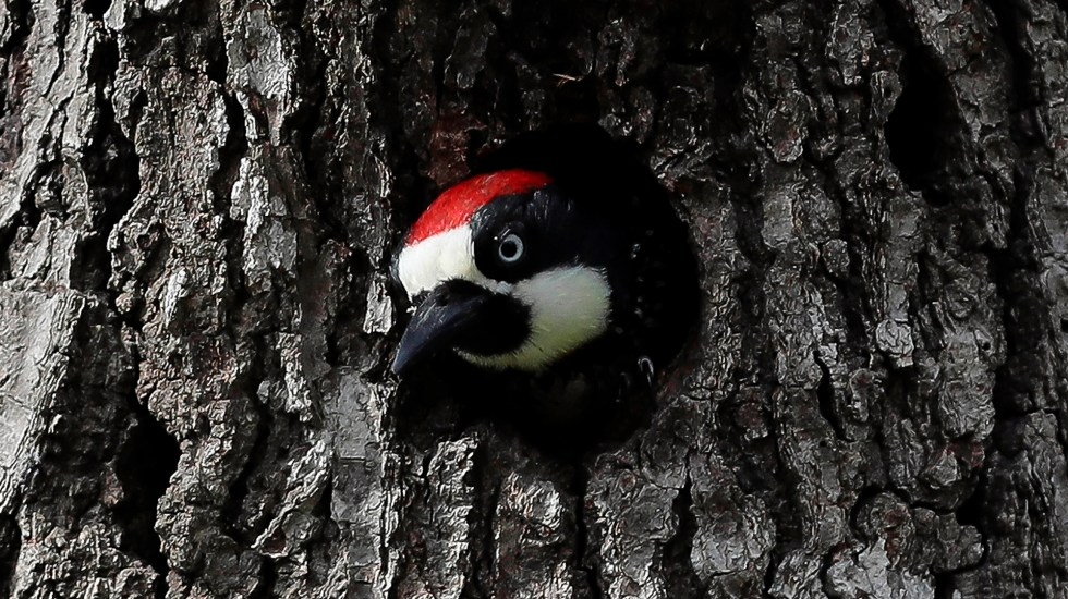 Estados Unidos declara la extinción de 23 especies animales - pájaro carpintero