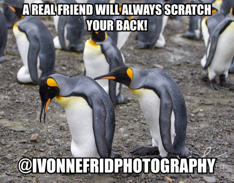 meme de pingüinos