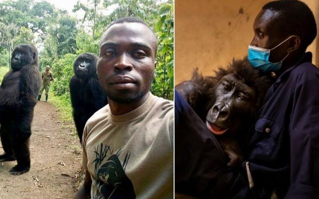 Muere Ndakasi, gorila que se volvió viral por 'selfie' con guardaparques - Gorila viral Ndakasi